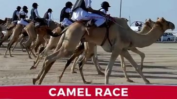 camel race in doha qatar